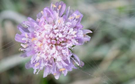 Lila Blume mit Frost