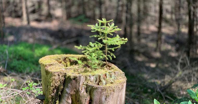 Kleiner Baum auf altem Stamm